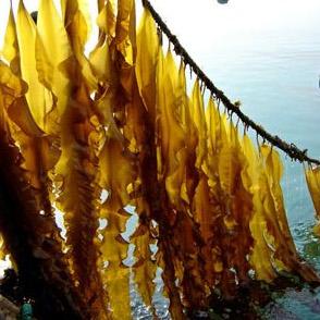 algue Laminaria Japonica sur corde