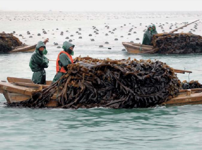 Pêche de l'algue Laminaria Japonica